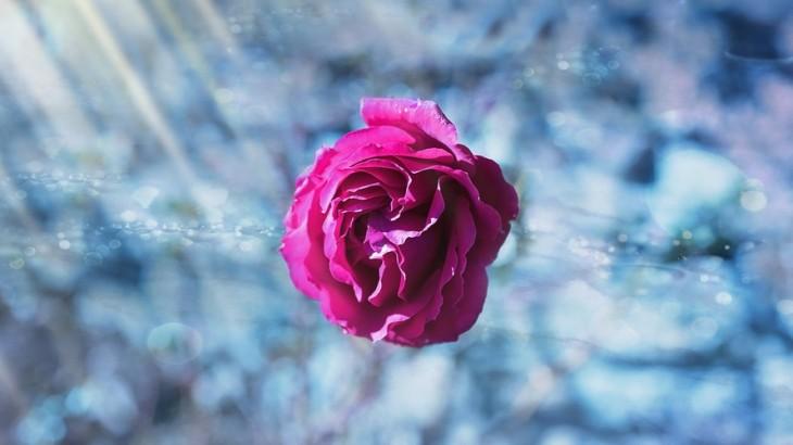 rose-flower-pink-flowers-large