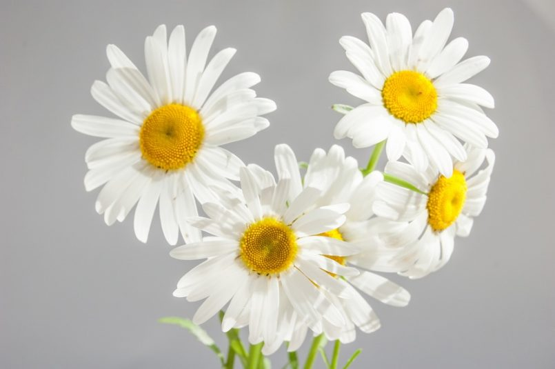 chamomile-flowers-bloom-white-daisies-37538-large-2